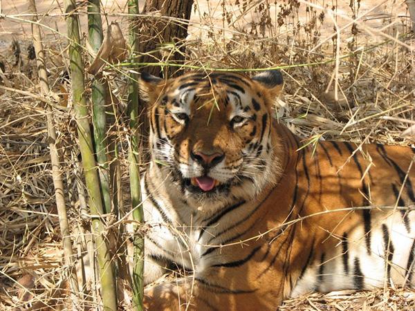 Indian_Tiger