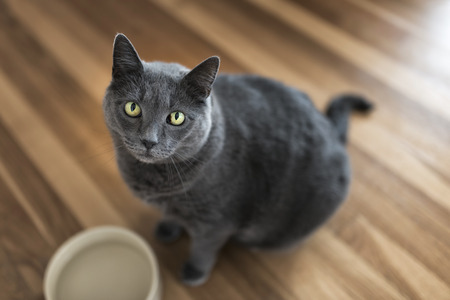 53590533 - portrait of a 10-year old female grey cat
